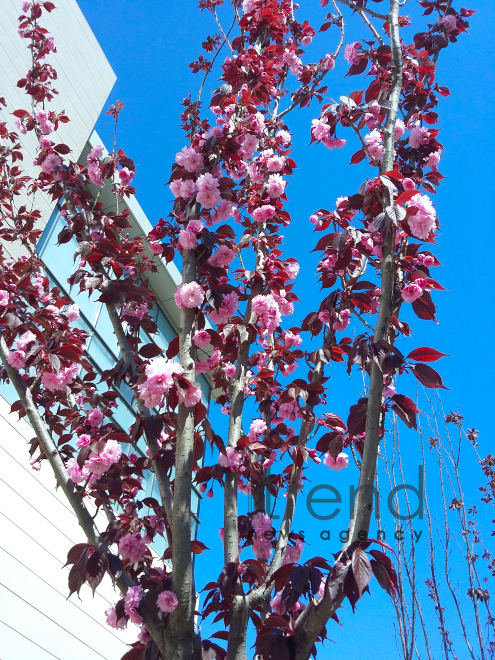 Japanese cherry starts to blossom in Baku. Azerbaijan, 17 April, 2017