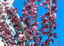Japanese cherry starts to blossom in Baku.